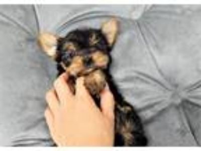 Debby the Yorkshire Terrier