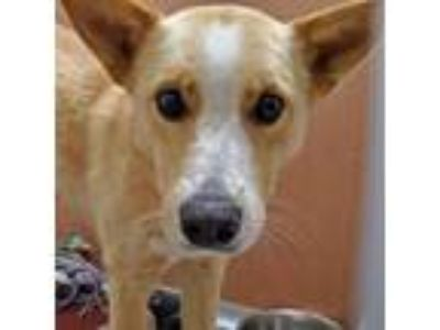 Adopt Gorda a Brown/Chocolate Australian Cattle Dog / Mixed dog in San