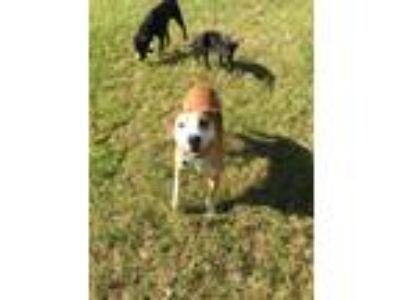 Adopt Bell a Hound, Pit Bull Terrier
