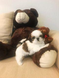 Shih Tzu PUPPY FOR SALE ADN-90422 - 2 month puppy