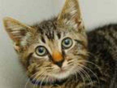 Adopt ARTHUR a Brown Tabby Domestic Shorthair / Mixed (short coat) cat in