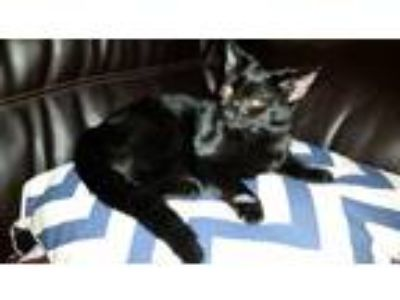 Adopt Ethel a All Black Domestic Shorthair / Mixed cat in Greenville