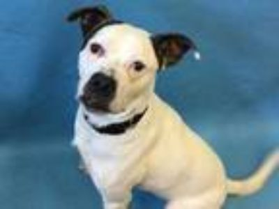 Adopt Lil Bill a White American Pit Bull Terrier / Mixed dog in Golden Valley