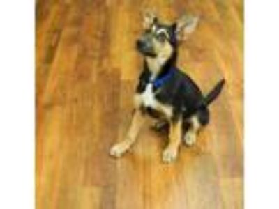 Adopt Sneakers a Black - with Tan, Yellow or Fawn German Shepherd Dog / Mixed