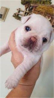 Healthy female pug puppy ready