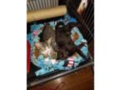 Adopt Jet a All Black Domestic Shorthair (short coat) cat in Rochester