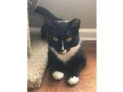 Adopt Tamara a Black & White or Tuxedo Domestic Shorthair (short coat) cat in