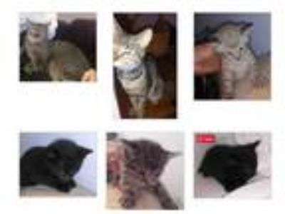 Andover Kansas Desperate Tabby Cat Family Scarlet, Leah and Tiny Kittens