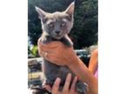 Adopt Anabelle a Russian Blue