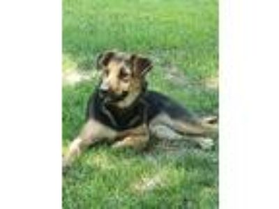 Adopt Micki a German Shepherd Dog