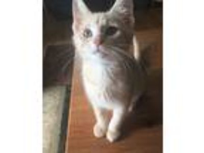 Adopt Teddy a Tan or Fawn Tabby Domestic Shorthair (short coat) cat in Carlisle