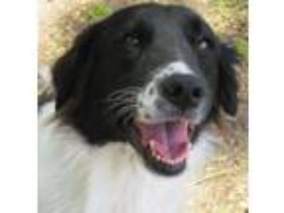 Adopt Joy a Border Collie, Australian Shepherd
