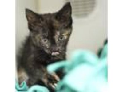 Adopt Chrissy a All Black Domestic Shorthair / Domestic Shorthair / Mixed cat in
