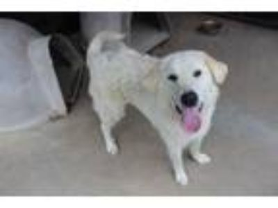 Adopt Bradley a Great Pyrenees