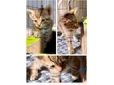 Adopt Allie a Brown Tabby Domestic Shorthair (short coat) cat in Toms River