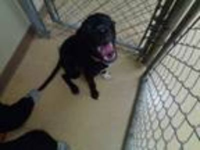 Adopt Luke a Labrador Retriever, Mixed Breed