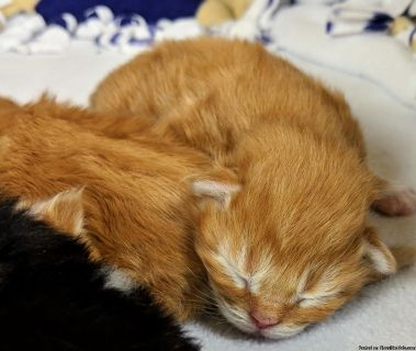 Himalayan Maine Kittens for sale Roseville, California