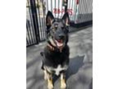 Adopt Reika a Black - with Tan, Yellow or Fawn German Shepherd Dog / Husky /