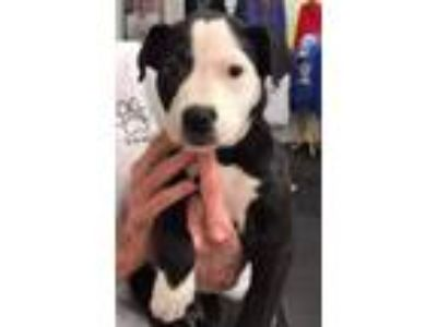 Adopt Bambi a Border Collie, Pit Bull Terrier