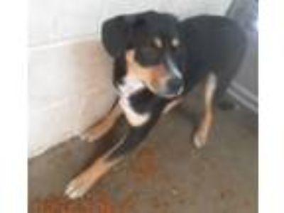 Adopt Rachel a Shepherd, Black Labrador Retriever