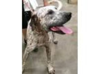 Adopt Jorge a German Shorthaired Pointer