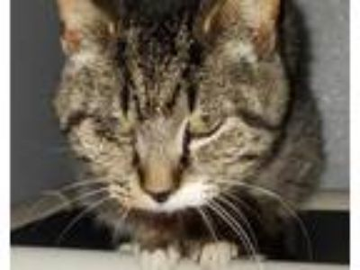 Adopt Oscar a Brown Tabby Domestic Shorthair (short coat) cat in Mount Sterling