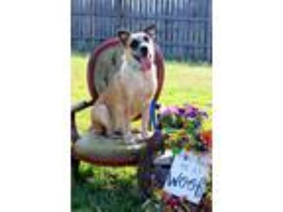 Adopt Corie a Australian Cattle Dog / Mixed dog in Bardstown, KY (23642567)