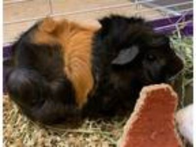 Adopt Reeses a Guinea Pig small animal in San Diego, CA (25647590)