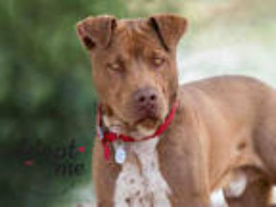 Adopt KOA a Brown/Chocolate - with White Labrador Retriever / American