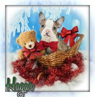 Hagar Male Boston Terrier ACA