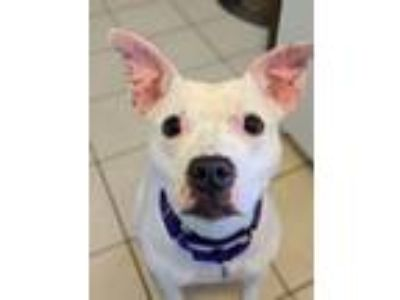 Adopt Francine a Pit Bull Terrier