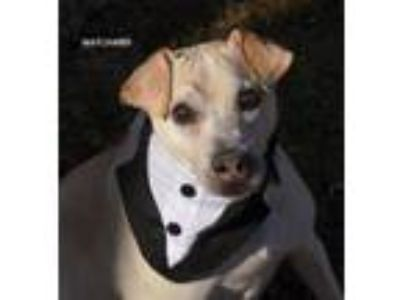 Adopt Max James a Italian Greyhound, Jack Russell Terrier