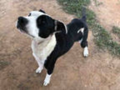Adopt FERGIE a Black - with White American Pit Bull Terrier / Mixed dog in