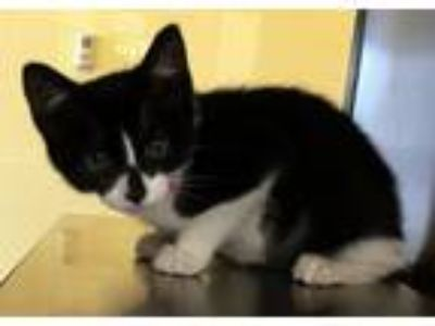 Adopt ELIZA a Domestic Short Hair