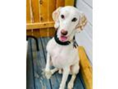 Adopt Oliver a English Pointer