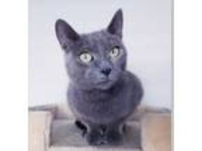 Adopt Smokey a Russian Blue / Mixed (short coat) cat in Pittsboro, NC (25882433)