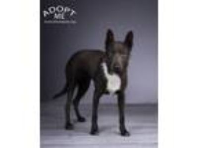 Adopt Luna a Black - with White Belgian Malinois / Mixed dog in Denver
