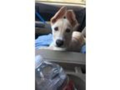 Adopt Roe a Tan/Yellow/Fawn Labrador Retriever / German Shepherd Dog / Mixed dog