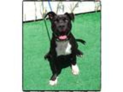 Adopt PACKER a Black - with White Pit Bull Terrier / Mixed dog in Marietta
