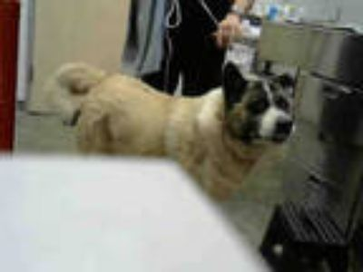 Adopt BUSTER a Brown/Chocolate - with White Akita / Mixed dog in Dallas