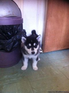 ddss Beautiful Alaskan Malamute Puppies