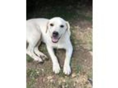 Adopt Hendrix a Yellow Labrador Retriever