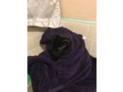 Adopt Midnight a All Black American Shorthair / Mixed cat in San Bernardino