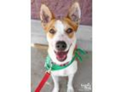Adopt Samira a Red/Golden/Orange/Chestnut - with White Basenji / Mixed dog in