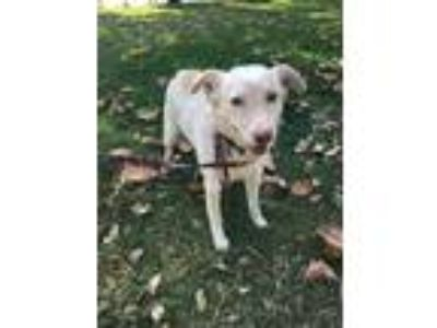 Adopt Princess a White - with Tan, Yellow or Fawn Anatolian Shepherd / Mixed dog