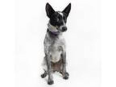 Adopt Lee (Los Angeles) a Australian Cattle Dog / Blue Heeler