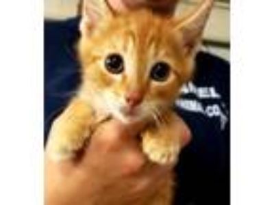 Adopt Nick a Orange or Red Domestic Shorthair / Domestic Shorthair / Mixed cat