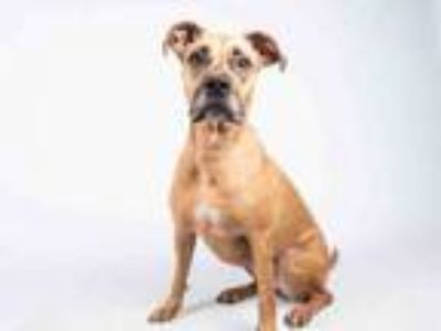 Adopt LADY BIRD a Boxer, Great Dane