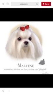 sister is looking for a Maltese puppy