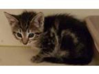 Adopt Kristy a Gray or Blue Domestic Shorthair / Domestic Shorthair / Mixed cat